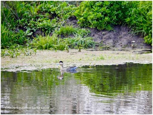 Pato silvestre en el tajamar grande - Chacra Educativa Santa Lucía