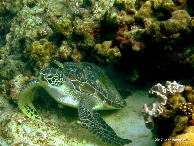 green sea turtle, tropical waters, u/w photography, scuba diving,