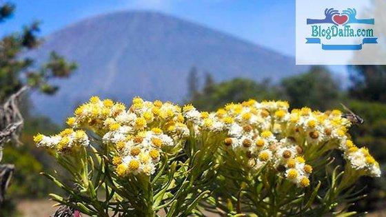 Tumbuhan langka Edelweis Jawa