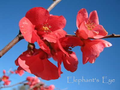 2012 August Japanese flowering quince