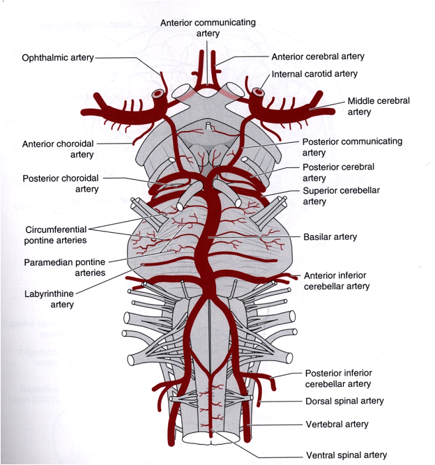 Healthy Ranula: Central Nervous System(CNS) -Blood Supply Labyrinthine Artery