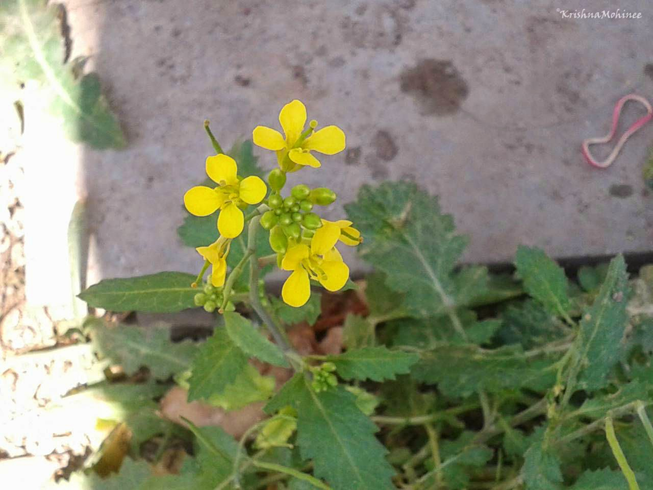 Image: Small Yellow Wild Flowers