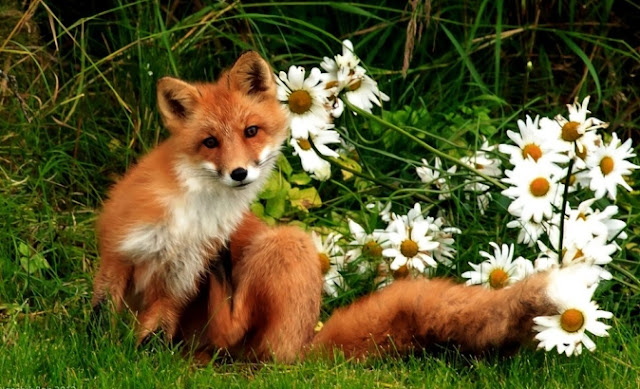 Royalty Free Red Fox Pictures, Images