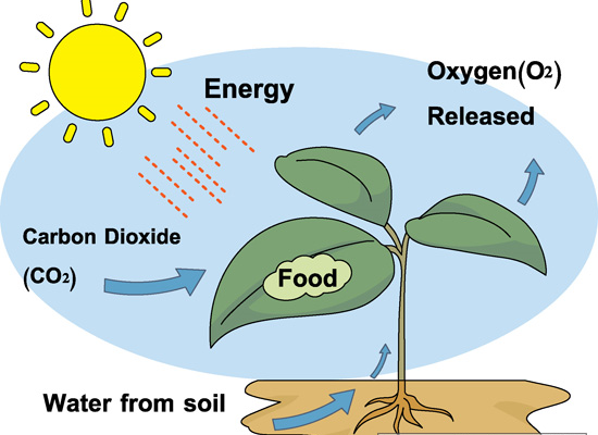 What happens during photosynthesis? - OCR 21C