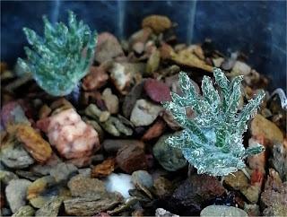 Eriospermum sp - R110620 Namuskluft Namibia