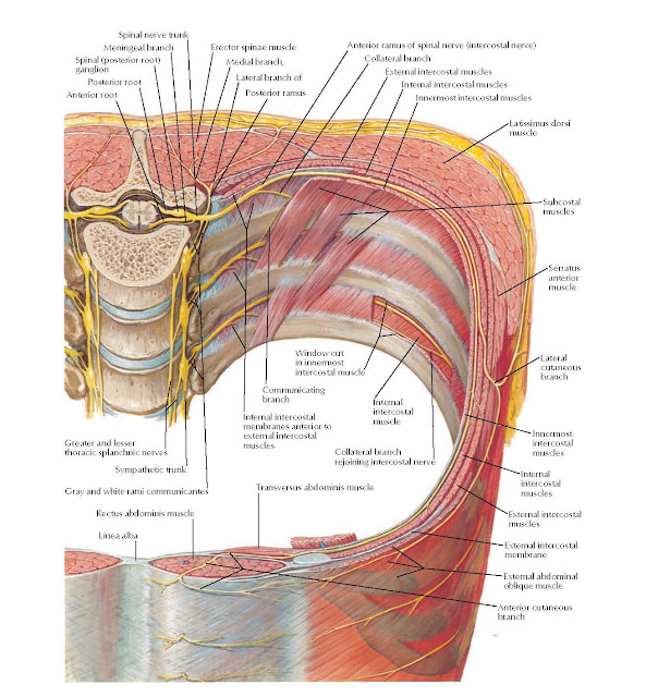 Thoracoabdominal Nerves Anatomy