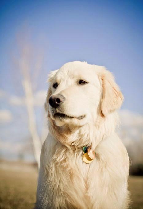See more White Golden retriever Puppy Dog Dogs Puppies http://cutepuppyanddog.blogspot.com/