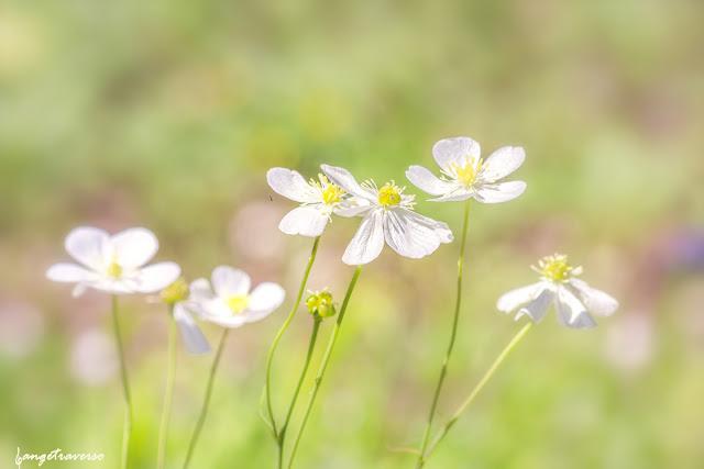 Flore de France, flore des Alpes, fleurs