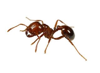 Semut Kisah Nabi Sulaiman dan Semut Merah