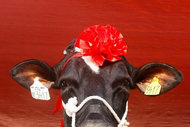 Госпођа крава