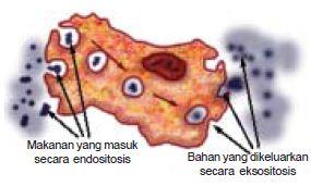Mekanisme Transpor Pada Membran Sel Melalui Gerakan Difusi, Osmosis, Transpor Aktif dan Endositosis atau Eksositosis