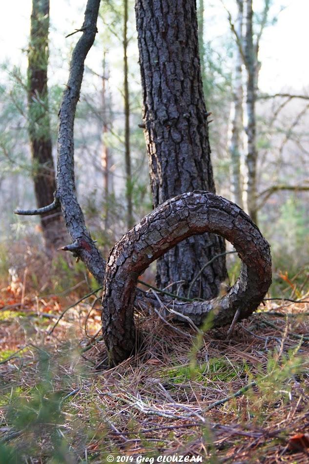 Pin contorsionniste, Potala, Trois Pignons, (C) 2014 Greg Clouzeau