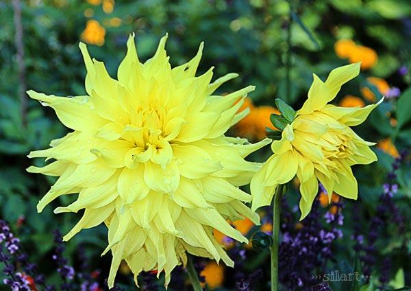 Septemberblüten, zwei gelbe Blumen