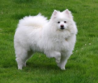 American Eskimo Dog-dog-pet-dog breeds