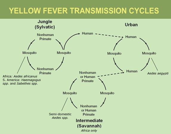 Yellow Fever Transmission Cycles