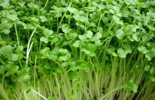 Rau mầm củ cải trắng