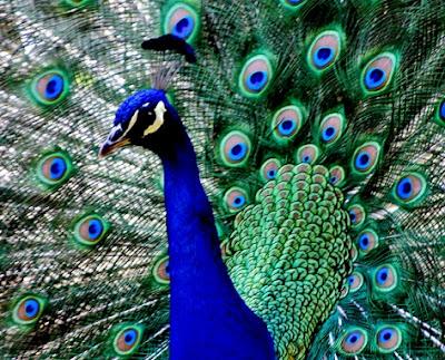 Foto del pavo real de pecho azul