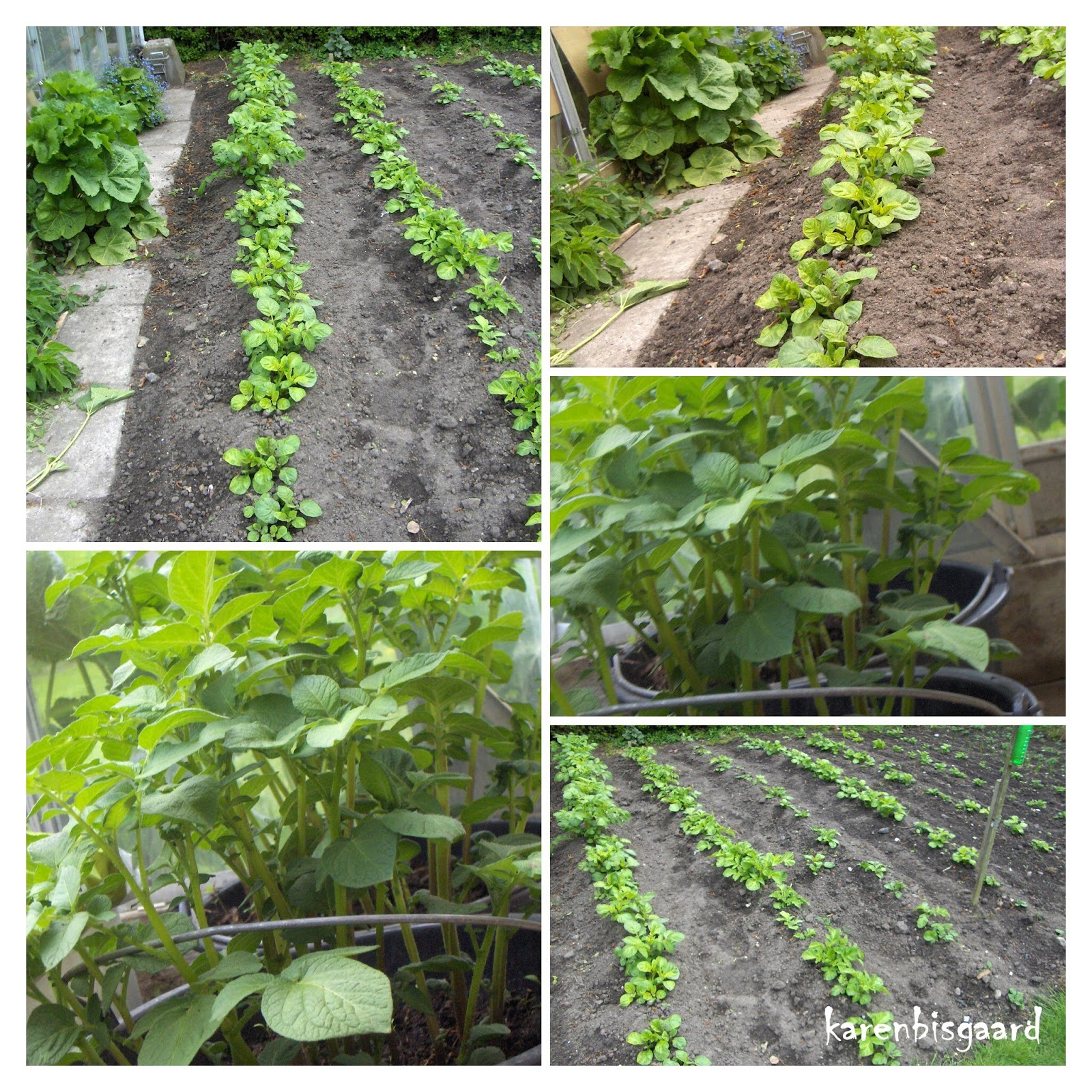 Potato Plants In Buckets And Rows Photo Collage