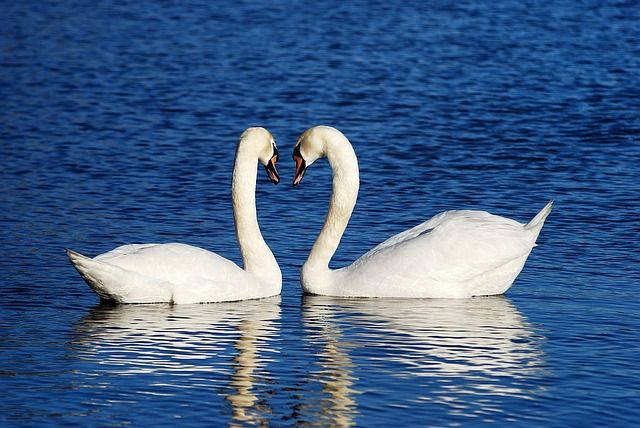facts about swan in hindi