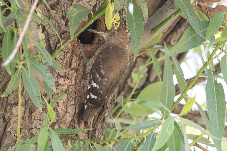 Arabian Woodpecker - Dendrocopos doraeat