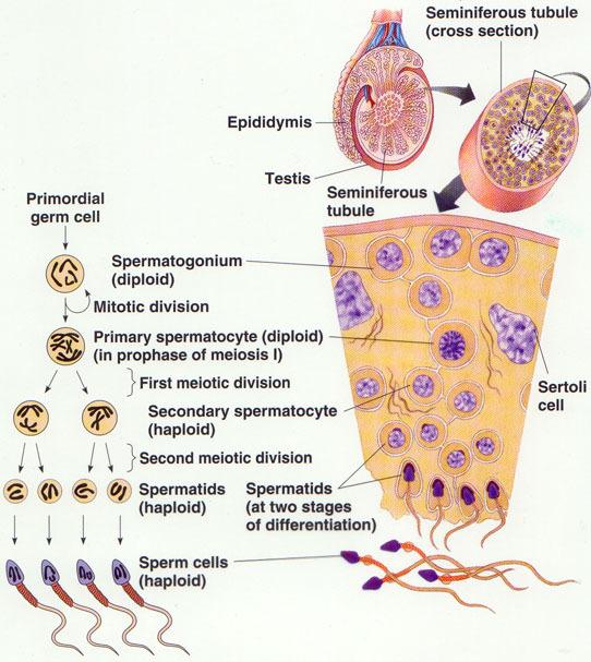 urutan proses spermatogenesis