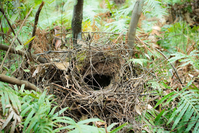 Australia the birthplace of birds nests?