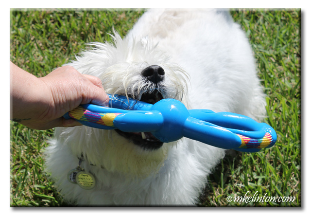 Westie playing with Figure 8 toy