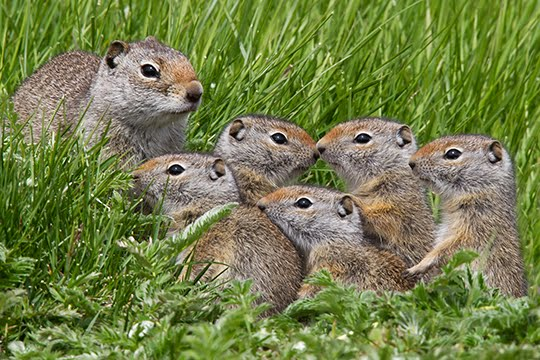 Group Of Squirrels 119