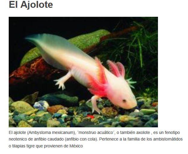 ajolote, anfibio con cola de México - Animales raros