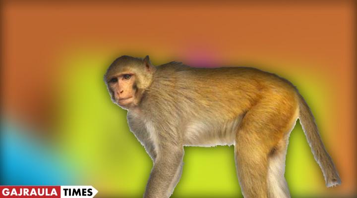 monkey-in-amroha