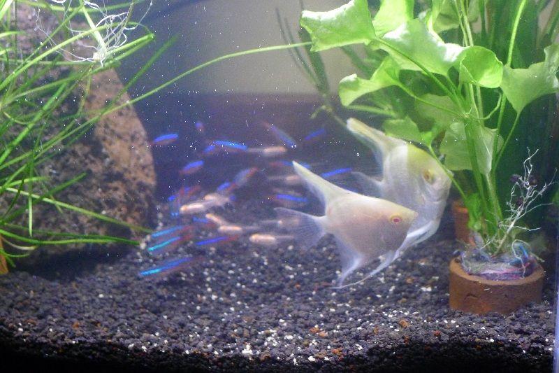 jenis ikan manfish