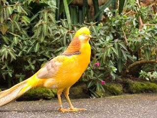 2587099945 ea70381e7c b Foto Yellow Pheasant Terbaru Jual Ayam Hias HP : 08564 77 23 888 | BERKUALITAS DAN TERPERCAYA Foto Yellow Pheasant Terbaru Galeri Foto Yellow Pheasant Terbaru