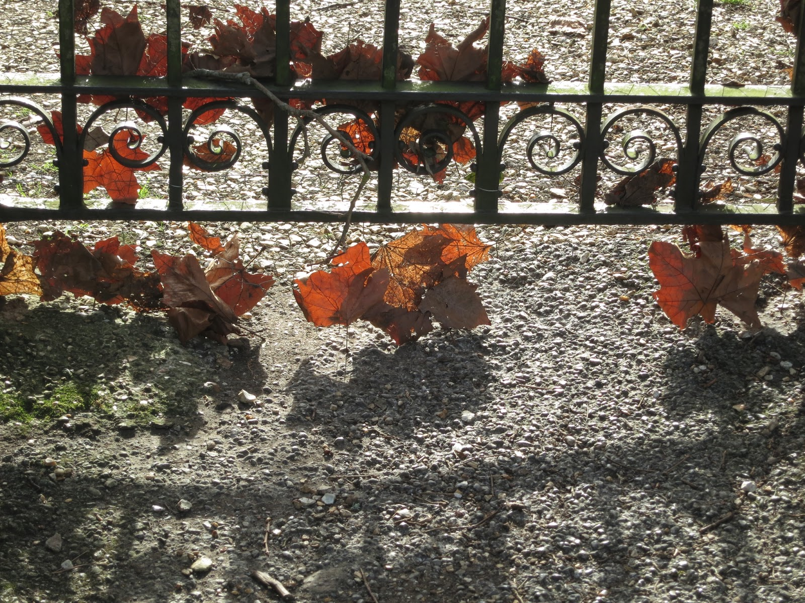 Brown leaves caught in wrought iron gate - with shadow.