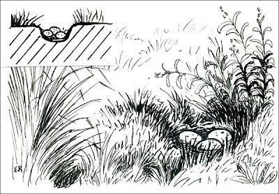 Cachirla común Anthus correndera