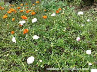 Macam-macam bunga krokot