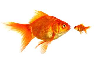 Japon balığı diğer balıkları yer mi