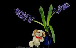 http://fotobabij.blogspot.com/2015/03/fioletowy-hiacynt-wschodni-hyacinthus.html