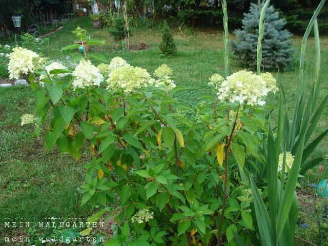 mein waldgarten wei e rispenhortensien und hortensien. Black Bedroom Furniture Sets. Home Design Ideas