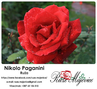 Uzbudljiva esplozija cvetova oko Vas ~ Nikolo Paganini Ruža ~