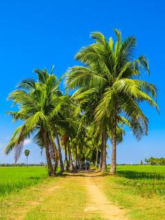 Un groupe de palmier