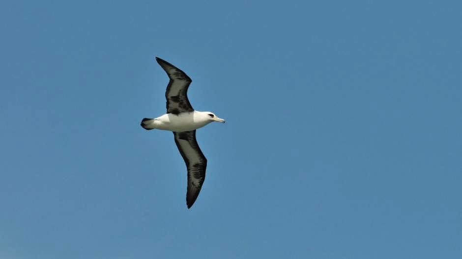albatros de Laysan Phoebastria inmutabilis