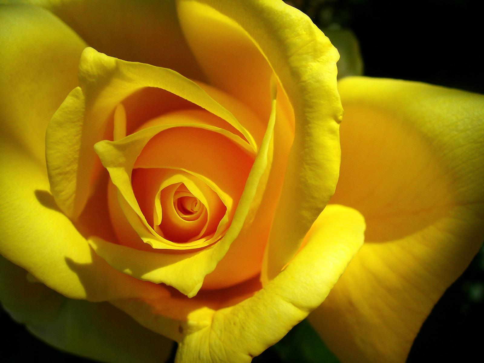 yellow rose flower wallpaper - photo #31