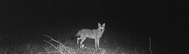 PRWI_Coyote.jpg