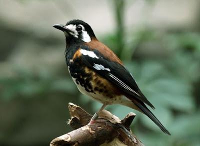 Proses Perawatan Burung Anis Ampenan Paling Lengkap Setiap Hari