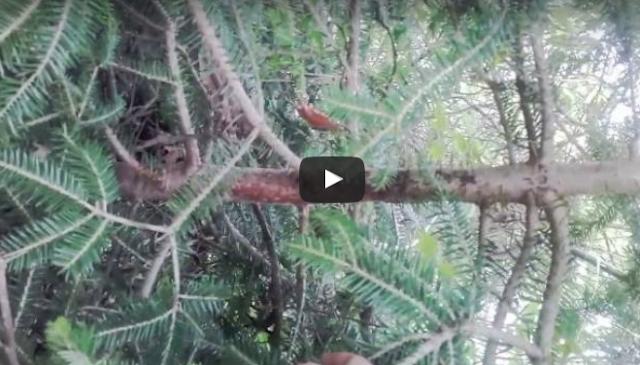 Κοριός στα έλατα 29-5-2016 VIDEO