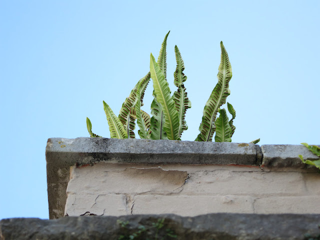 Hart's Tongue Fern growing wild on a town pillar