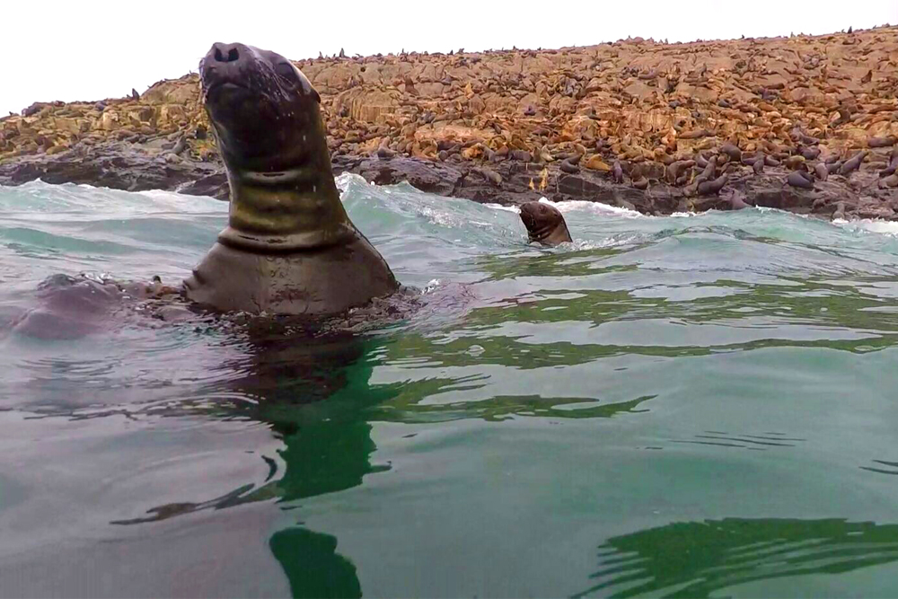 Swimming with sea lions in Palomino Islands, Lima, Peru - travel blog