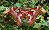 http://www.top10-facts.com/2018/03/atlas-moth-attacus-atlas.html