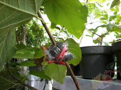 Grafting Tin fruit