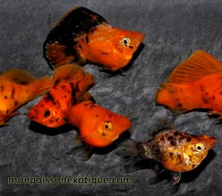 Harga dan jenis Ikan Golden Black Molly marble